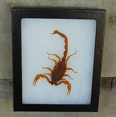 E546) Real GIANT DESERT HAIRY SCORPION Hadrurus taxidermy mount 5X6 framed USA