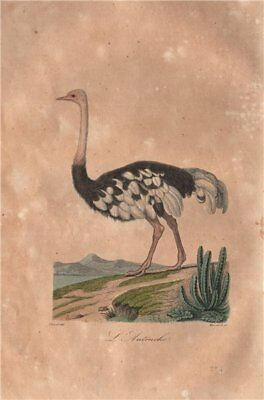 OSTRICH. L'Autruche. Birds. BUFFON 1837 old antique vintage print picture