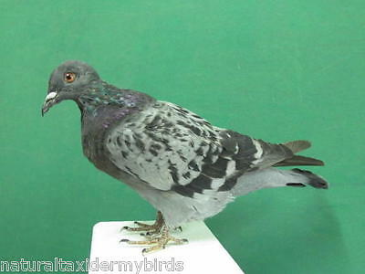 Checkered Pigeon Gray Rock Dove Real Bird Taxidermy Bird Mount Looking Down