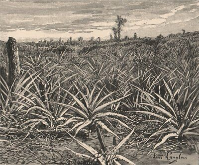 Plantation of Pineapples. Cuba 1885 old antique vintage print picture