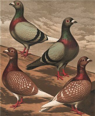 PIGEONS. Homing Pigeons. Antique chromolithograph 1880 old print