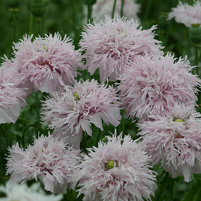 Kings Seeds - Papaver - Somniferum Lilac Pom Pom - 500 Seeds