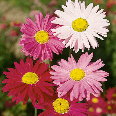 Kings Seeds - Pyrethrum Hybridum Mixed - 150 Seeds
