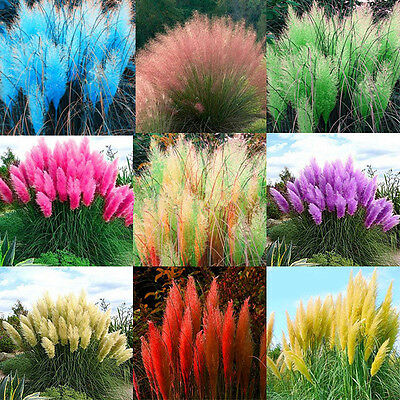 2000pcs Pampas Ornamental Seeds Bonsai Plant Flower Cortaderia Selloana Grass FS