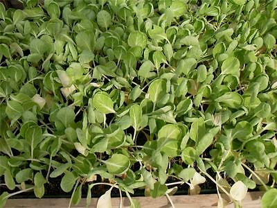 35 savoy cabbage plug plants ,ready to be planted out now