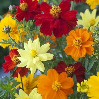 Cosmos - Brightness Mixed - 100 Seeds