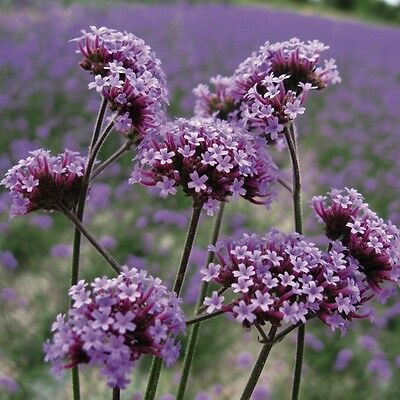 Kings Seeds - Verbena Bonariensis - 250 Seeds