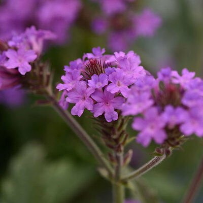Kings Seeds - Verbena, Rigida Santos - 40 Seeds