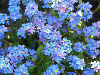 Pack Forget Me Not 'Blue' Flower Seed King's Quality Seeds