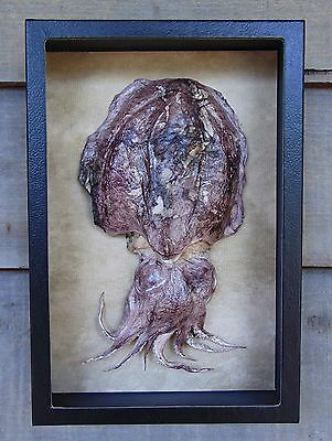 "C7) Large, Real 10"" CUTTLEFISH 12X8 shadowbox framed Taxidermy mount octopus USA"