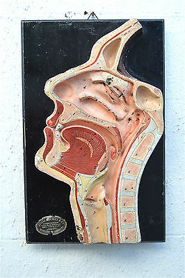 Original antique anatomical model profile of a human head c.1900-1910