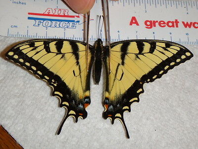 Papilio glaucus Spring Male Tiger Swallowtail Butterfly Indiana #1231-2