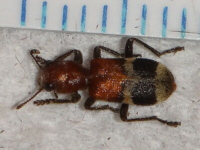 Coleoptera Cleridae Clerid Beetle Enoclerus species Indiana #8890-1 Insect Bug