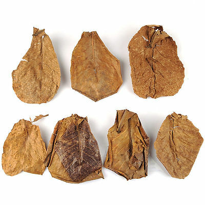 10 Pcs/ A Pack Indian Almond Leaves for Shrimp Discus Tetra Fish Size 5-7 Inches