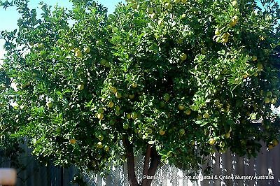 5 Tahitian Lime Trees Citrus latifolia Fruit Herb  Plants Scented Flowers Edible