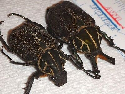 Coleoptera Inca clathrata sommeri Pair Mexico #1 Insect Beetle Bug Entomology