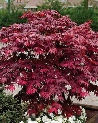 Acer Palmatum Japanese Maple Bloodgood-Bonsai or garden