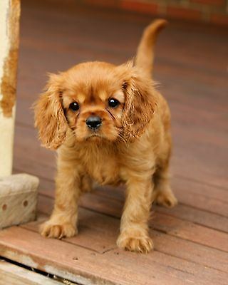 Pietra  Ruby Cavalier King Charles Spaniel Puppy blank note card