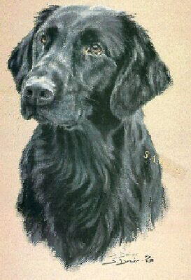 Flat Coated Retriever Limited Edition Print by UK Artist Sue Driver