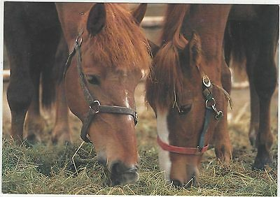 Horse Postcard -Heads Down and eat!