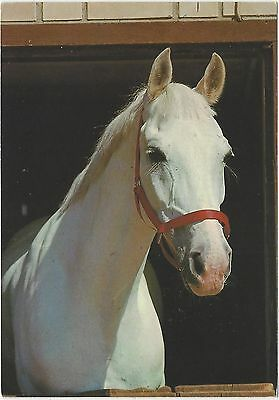 Horse Postcard -Grey in red headcoller