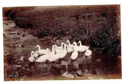 "Old Scottish Rural Albumen Photo "" Ducks "" Charles Reid Wishaw Antique C.1890"