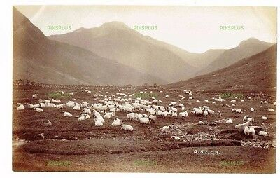 "Old Rural Albumen Photo "" Highland Sheep "" Charles Reid Wishaw Antique C.1890"