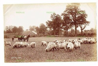 "Old Scottish Albumen Photo "" Lowland Sheep "" Charles Reid Wishaw Antique C.1890"