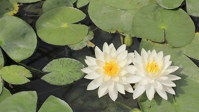 WHITE WATER LILY (Nymphaea pubescens) 20 seeds
