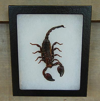 E553) Real BLACK EMPEROR SCORPION taxidermy mount 5X6 framed USA combined ship!