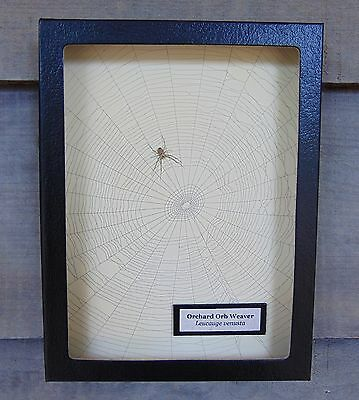 E728) Real Orchard Orb Weaver Spider on actual Web framed shadowbox taxidermy US
