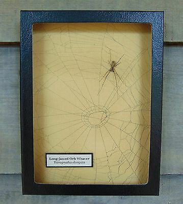 E727) Real Long-jawed Orb Weaver Spider on actual Web framed shadowbox taxidermy
