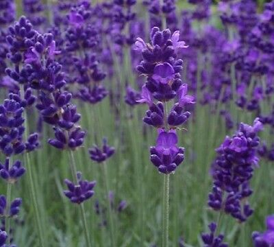 Pack x6 English Lavender 'Blue Scent Early' Perennial Plug Plants
