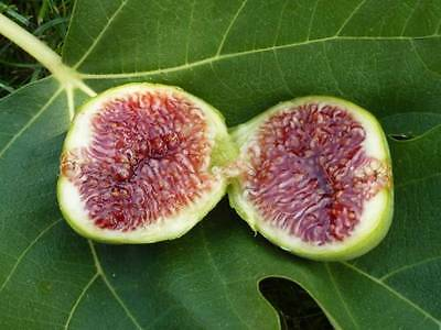 King Fig 10 Seeds, Sweet Fig - Cold Tolerant Variety and Decadent Fruits