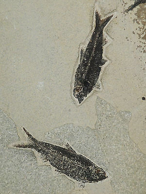TWO Nice and 100% Natural 50 Million Year Old Fish Fossils From Wyoming 944gr