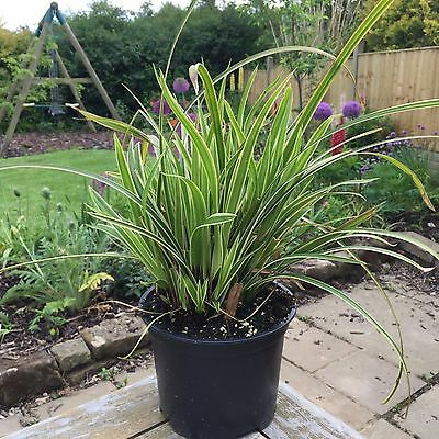 "Carex Morrowii ""Ice Dance"" 2 Litre pot Ornamental Grass Ready to plant out"