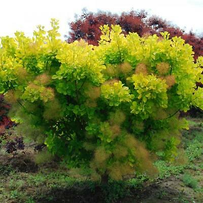 SMOKEBUSH 'Golden Spirit' 10 Seeds Cotinus Coggygria - Beautiful Colour Foliage
