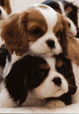 I Wanna See!  Blenheim & Tri Cavalier King Charles Spaniel Puppy blank notecard