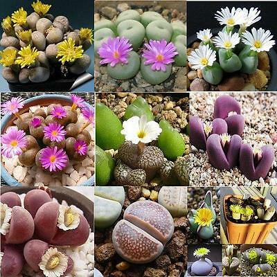 Lithops Mixed Seeds, Living stones, succulent