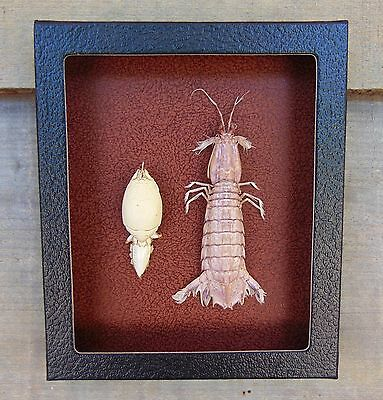M2) Real MANTIS SHRIMP and MOLE CRAB mounted Taxidermy Display shellfish squilla