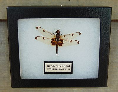 E369) Real Banded Pennant Dragonfly 4X5 frame display butterfly insect taxidermy
