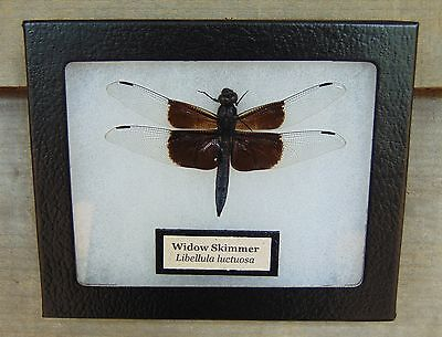 E371) Real Widow Skimmer Dragonfly 4X5 framed display butterfly insect taxidermy