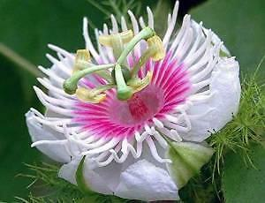 Passion flower, Passionfruit Love-in-a-Mist 5 Seeds (Passiflora foetida)