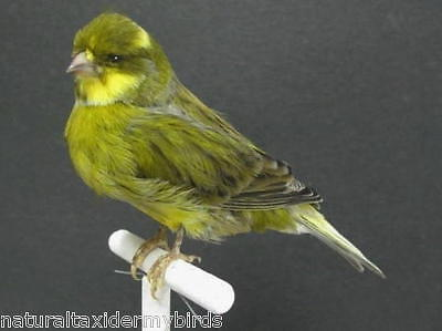 Large Green Striped Canary Real Bird Taxidermy Bird Mount