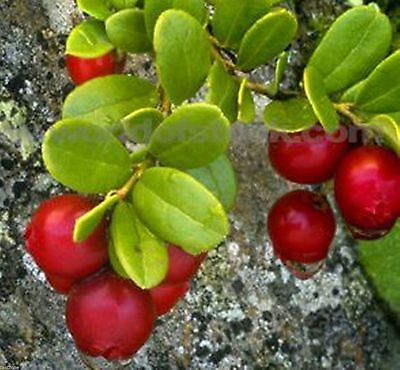 British Columbia Cranberry Plant -30 Seeds-Grow Your Own Cranberries