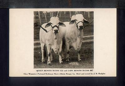 1950 CHAMPION BRAHMAN CATTLE Cows RPPC Photo Postcard Breeder JD Hudgins MANSO