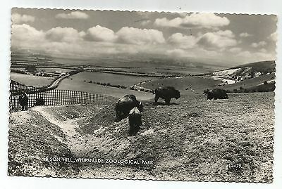 zx england bedfordshire postcard english bison at whipsnade zoo