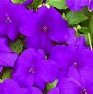 Impatiens/Busy Lizzy - Xtreme Violet - 25 Seeds