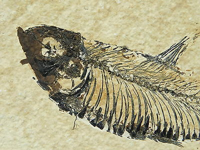 A Larger 50 Million Year Old X-RAY Like Diplomystus Fossil Fish Wyoming 315gr