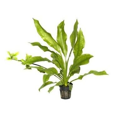 Live Tropical Aquarium Fish Tank Aquatic Plants For Sale Echinodorus paniculatus